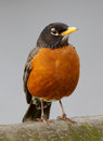 American Robin Royalty Free Stock Photo