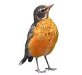American robin isolated on white turdus migratorius closeup background Stock Image