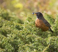 American Robin with Juniper berry Stock Photo