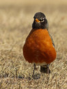 American robin looking into the camera full length portrait of an straight at Royalty Free Stock Images