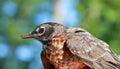 American Robin In Nature