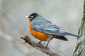 American robin perched tree Stock Photography
