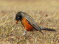 American robin pulling a worm closeup of an out of the ground in field Stock Image