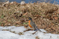 American robin searching for food under the snow Royalty Free Stock Images