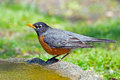 American robin standing on edge of birdbath Stock Photo