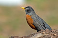 American robin standing on a mound of dirt Royalty Free Stock Images