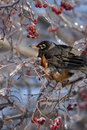 American robin in a tree with red ice covered berries Stock Photos