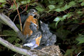 The American robin (Turdus migratorius) feeding. Stock Photo