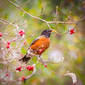 American Robin(Turdus migratorius) looking for berries Royalty Free Stock Photo