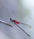 American rubyspot hetaerina americana perched on a twig Royalty Free Stock Images