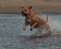 American staffordshire terrier playing in water Royalty Free Stock Photography