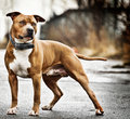 American staffordshire terrier posing outside Royalty Free Stock Photos