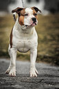 American staffordshire terrier posing outside Royalty Free Stock Photography