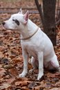American staffordshire terrier puppy is sitting on the autumn foliage. Royalty Free Stock Photo