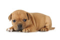 American Staffordshire Terrier puppy on white background Royalty Free Stock Photo