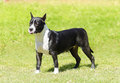 American staffordshire terrier a small young beautiful black and white standing on the grass while playfully sticking its tongue Royalty Free Stock Photos