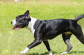 American staffordshire terrier a small young beautiful black and white walking on the grass looking playful and cheerful its ears Royalty Free Stock Image