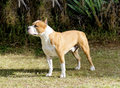 American staffordshire terrier a small young beautiful white and red sable standing on the lawn while sticking its tongue out and Royalty Free Stock Photos