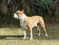 American staffordshire terrier a small young beautiful white and red sable standing on the lawn while sticking its tongue out and Stock Photos