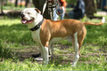 American staffordshire terrier in the summer park Stock Photos