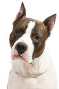 American staffordshire terrier white background Stock Photography