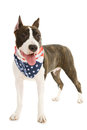 American staffordshire terrier on white background Royalty Free Stock Photo