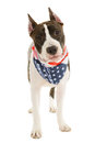 American staffordshire terrier on white background Royalty Free Stock Photos