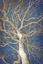 American sycamore amazing tree against a blue sky in this winter nature shot Royalty Free Stock Photography