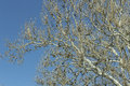 American sycamore branches against a sunny blue sky for this winter wildlife photo Stock Photo