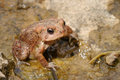 American toad adult in its natural environment Royalty Free Stock Photography