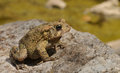 American toad adult in it s natural environment Royalty Free Stock Images