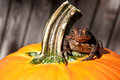 American toad an on a pumpkin Stock Images