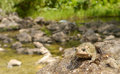 American toad on a rock near the pond where it reproduce Royalty Free Stock Photos