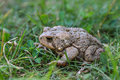 American toad an spotted at leech lake recreation area in minnesota Stock Image