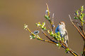 American tree sparrow adult perched and chirping on a willow bush Stock Photography