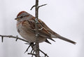 American Tree Sparrow in a Tree Royalty Free Stock Photos