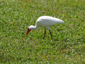 American White Ibis Foraging for Food Royalty Free Stock Photo