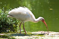 American white ibis with its distinctive white beak an Royalty Free Stock Photography