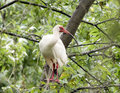 American White Ibis perched in a tree Royalty Free Stock Photo