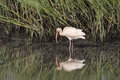 American White Ibis and reflectio Royalty Free Stock Photo