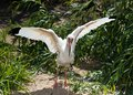 American White Ibis with spread wings Stock Images