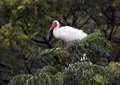 American White Ibis in treetop Royalty Free Stock Photo