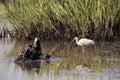American White Ibis 1 Royalty Free Stock Photo