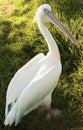 American White Pelican Stock Photography