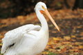 American white pelican Stock Photo