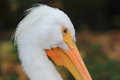 American white pelican the detail of Stock Image