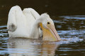 American White Pelican Filling its Pouch with Wate Stock Photo