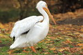 American white pelican the on the grass Royalty Free Stock Photo
