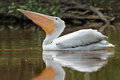 American White Pelican with Pouch Extended Stock Images