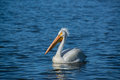 American white pelicans migrate through Colorado every spring Royalty Free Stock Photo
